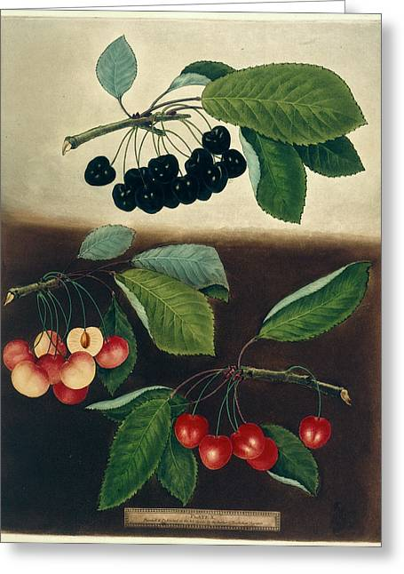 Cherries Greeting Card by British Library