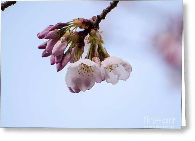 Cherry Blossoms Greeting Card by Mandy Judson