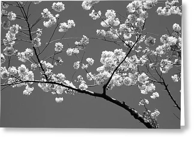 Cherry Blossoms Washington Dc Usa Greeting Card