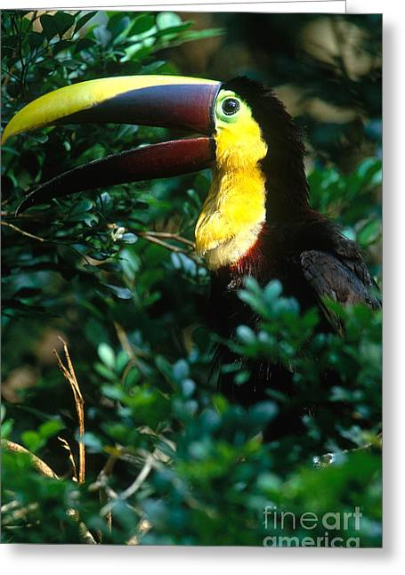 Chestnut-mandibled Toucan Greeting Card by Art Wolfe