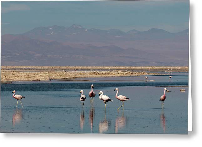 Chilean Flamingo, (phoenicopterus Greeting Card by Sergio Pitamitz