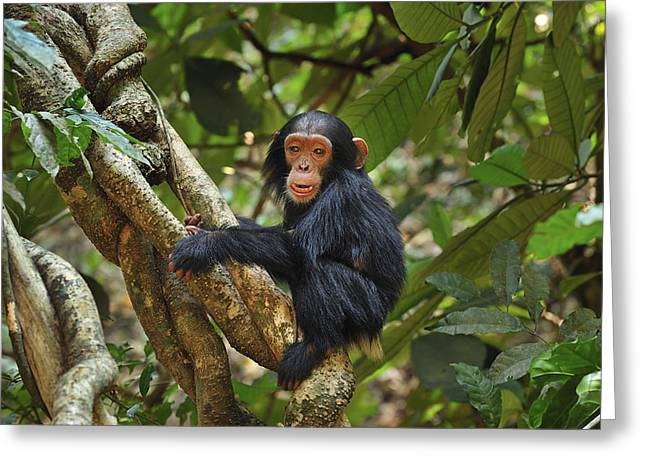 Chimpanzee Baby On Liana Gombe Stream Greeting Card by Thomas Marent