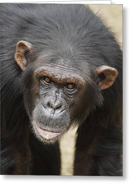 Chimpanzee Portrait Ol Pejeta Greeting Card by Hiroya Minakuchi