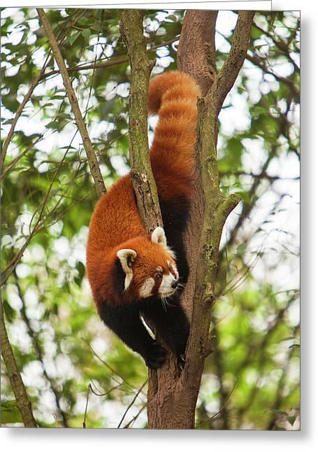 China, Chengdu, Wolong National Natural Greeting Card by Jaynes Gallery