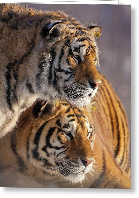 China, Harbin, Siberian Tiger Park Greeting Card by Jaynes Gallery