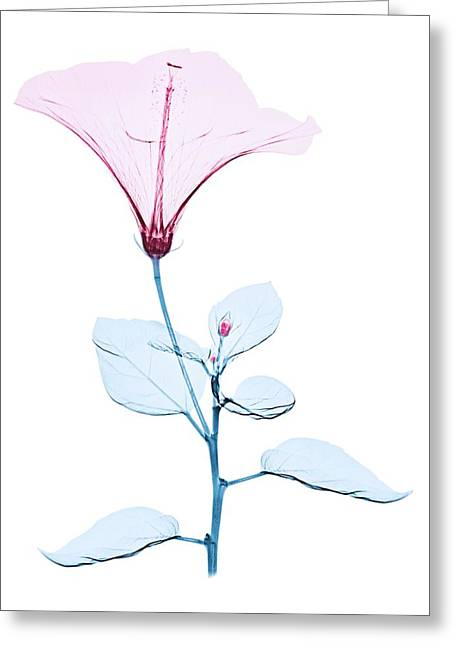 Chinese Hibiscus Flower Greeting Card