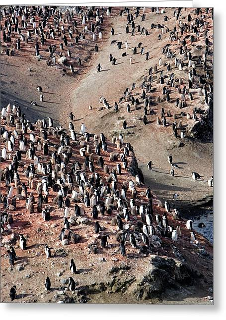 Chinstrap Penguin Colony Greeting Card by William Ervin/science Photo Library