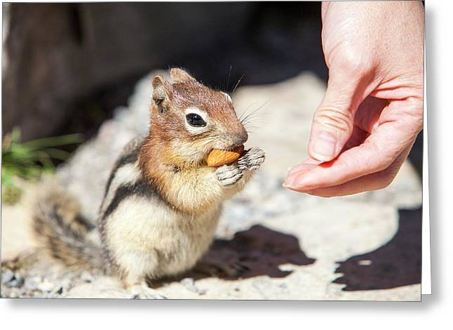 Chipmunk In The Canadian Rockies Greeting Card by Ashley Cooper