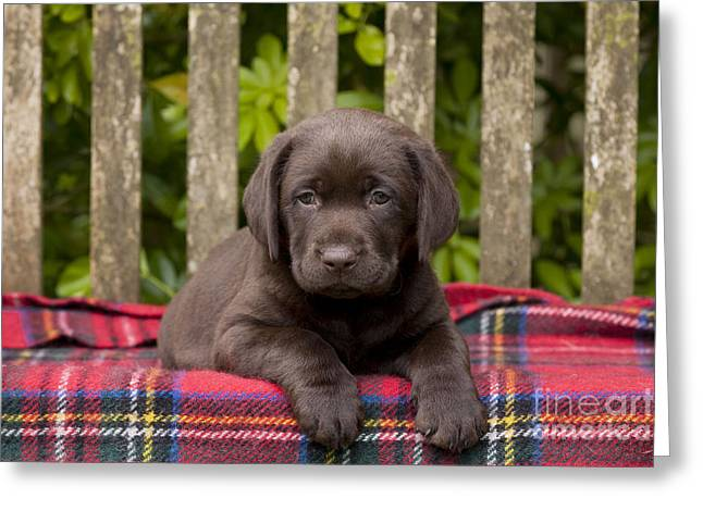 Chocolate Lab Puppy Dog Greeting Card by John Daniels