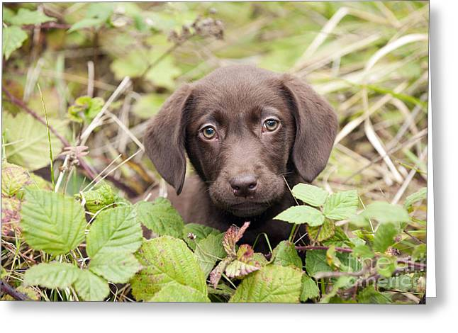 Chocolate Labrador Puppy Greeting Card by John Daniels