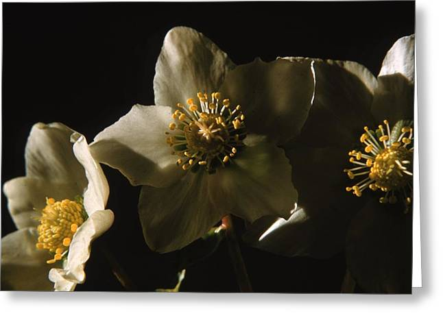 Christmas Rose Greeting Card by Retro Images Archive