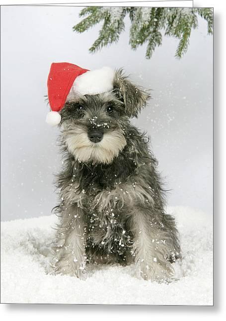 Christmas Schnauzer Greeting Card