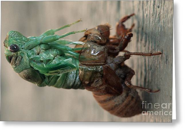 Cicada Emerging From Exoskeleton Greeting Card by James L. Amos