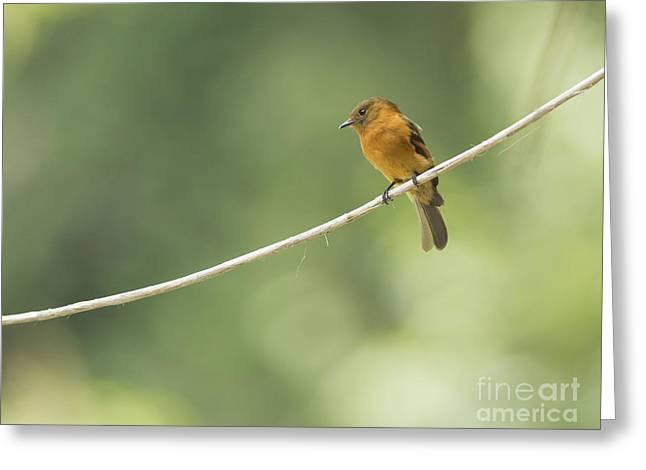 Cinnamon Flycatcher Greeting Card