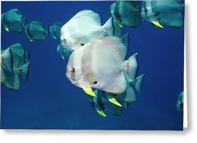 Circular Spadefish Over A Reef Greeting Card
