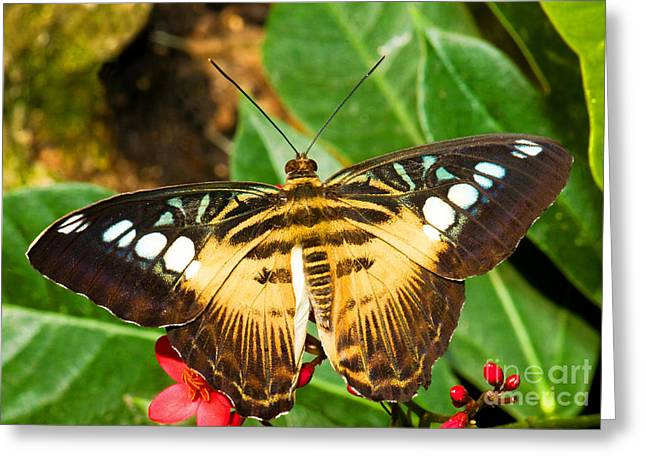 Clipper Butterfly Greeting Card by Millard H. Sharp
