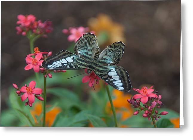 Clipper Butterfly 6150-052513-1cr Greeting Card