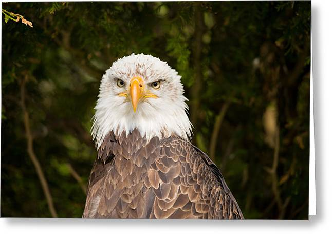 Close-up Of A Bald Eagle Haliaeetus Greeting Card by Panoramic Images