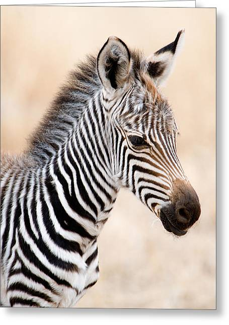 Close-up Of A Burchells Zebra Equus Greeting Card