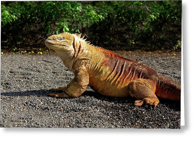 Close-up Of A Marine Iguana, Galapagos Greeting Card by Miva Stock