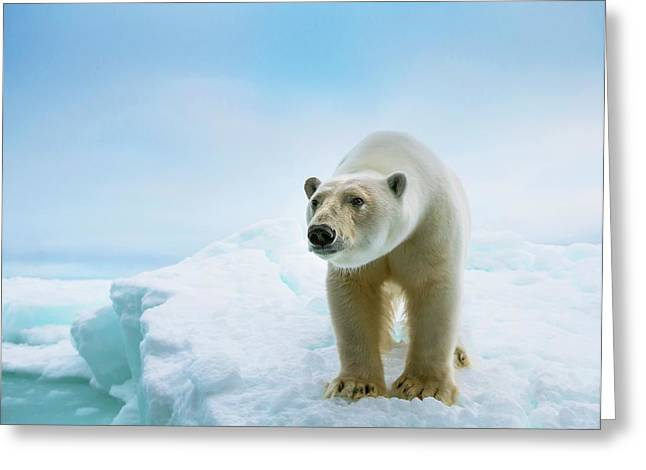 Close Up Of A Standing Polar Bear Greeting Card
