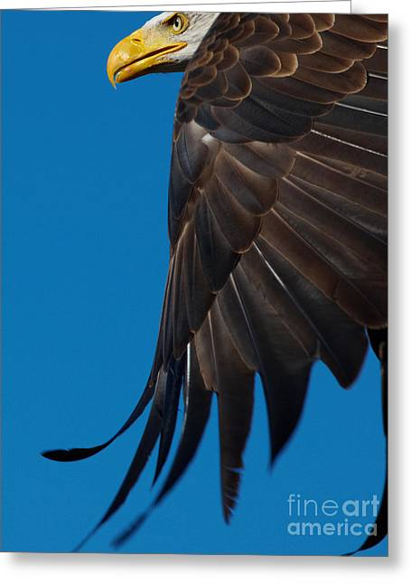 Close-up Of An American Bald Eagle In Flight Greeting Card
