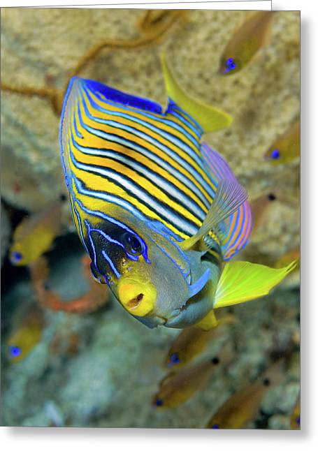Close-up Of Angelfish (pterophyllum Greeting Card