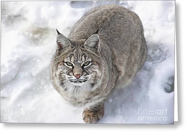 Close-up Of Bobcat Lynx Looking At Camera Greeting Card by Sylvie Bouchard