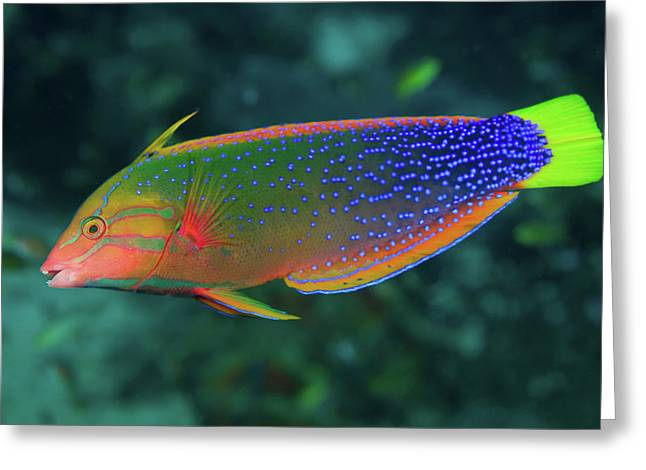 Close-up Of Colorful Wrasse (labridae Greeting Card