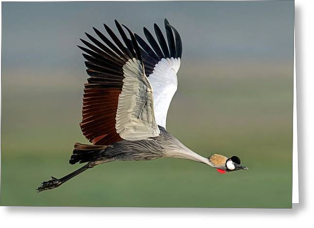Close-up Of Grey Crowned Crane Greeting Card by Panoramic Images
