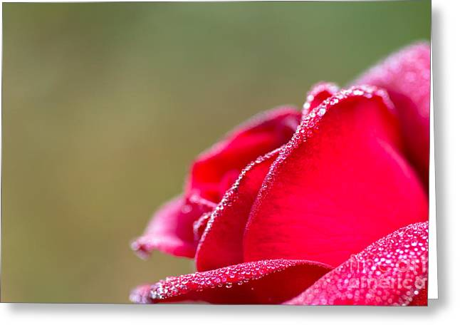 Close-up Of Red Rose With Water Drops Greeting Card