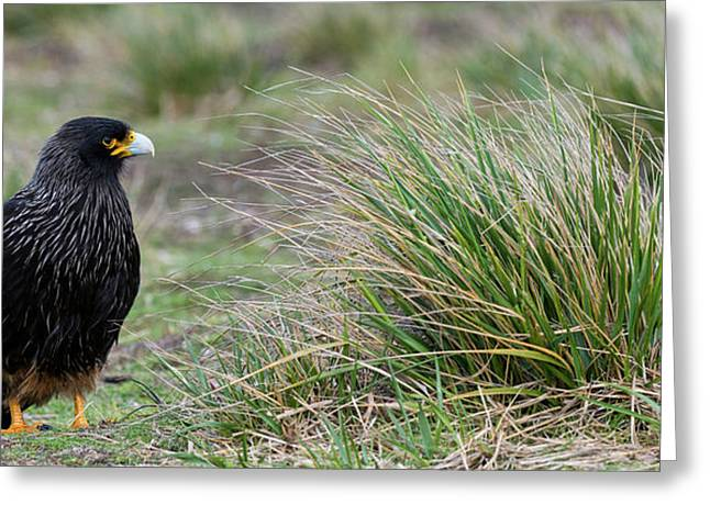 Close-up Of Striated Caracara Greeting Card by Panoramic Images
