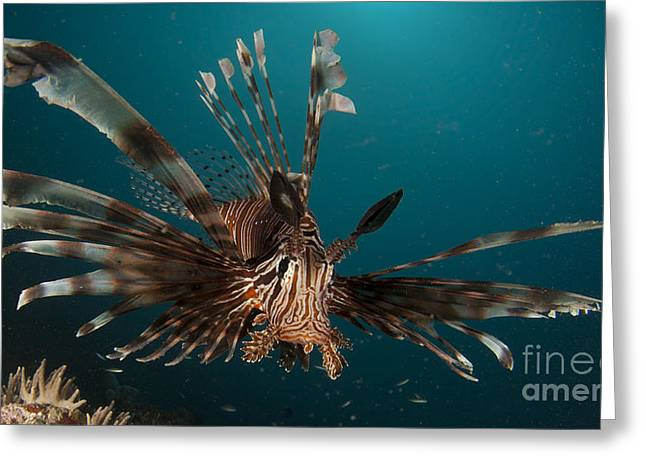 Close-up View Of A Lionfish. Gorontalo Greeting Card by Steve Jones