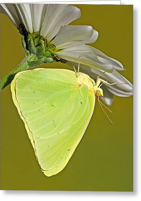 Cloudless Sulphur Butterfly Greeting Card