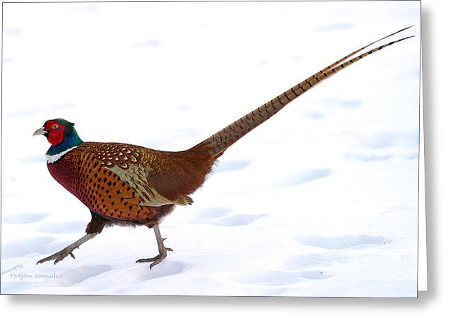 Cock Pheasant  Greeting Card by Torbjorn Swenelius