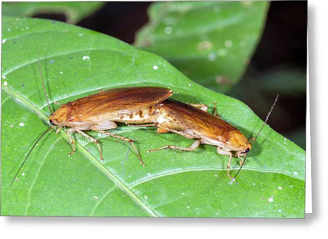 Cockroaches Mating Greeting Card by Dr Morley Read