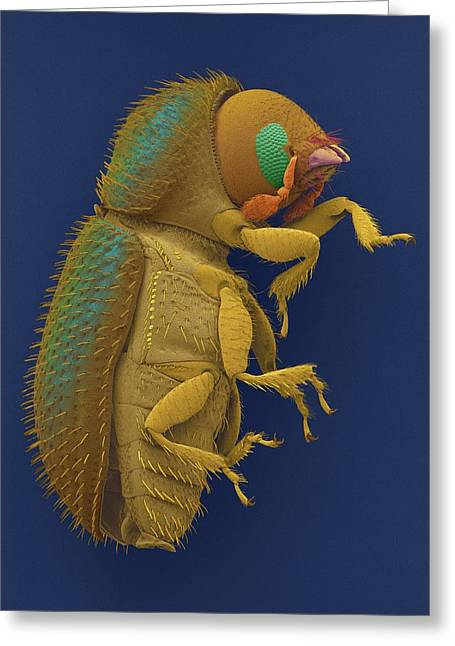 Coffee Berry Borer Greeting Card