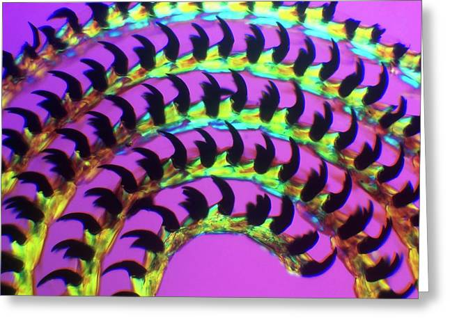 Coiled Limpet Tongue Greeting Card