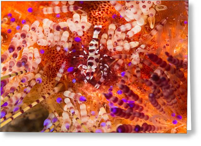 Coleman Shrimp On Fire Urchin Greeting Card
