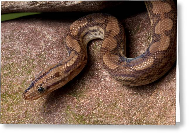 Greeting Card featuring the photograph Colombian Rainbow Boa Epicrates Maurus by David Kenny