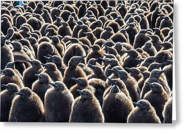 Colony Of King Penguins, Aptenodytes Greeting Card by Tom Murphy