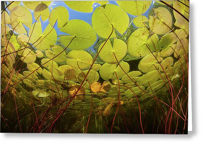 Colorful Lily Pads Grow Along The Edge Greeting Card