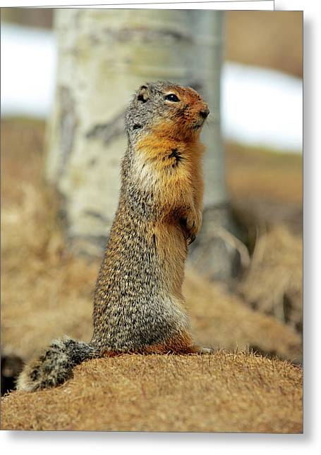 Columbia Ground Squirrel (urocitellus Greeting Card