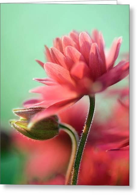 Columbine 'clementine Rose' Greeting Card by Maria Mosolova