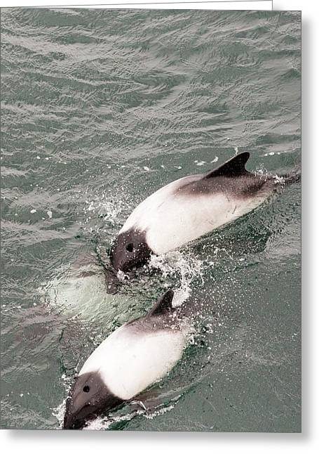 Commerson's Dolphin Greeting Card by Ashley Cooper