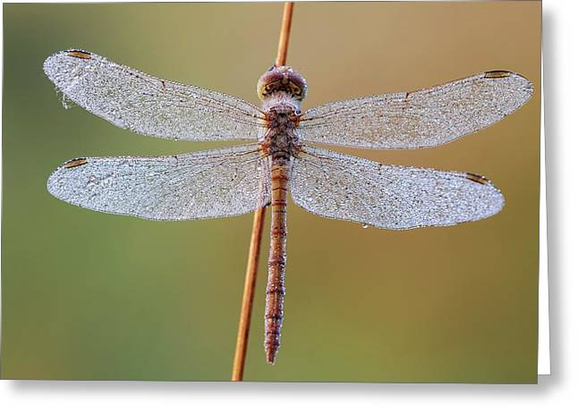 Common Darter Dragonfly Greeting Card