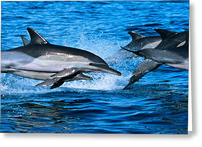 Common Dolphins Breaching In The Sea Greeting Card