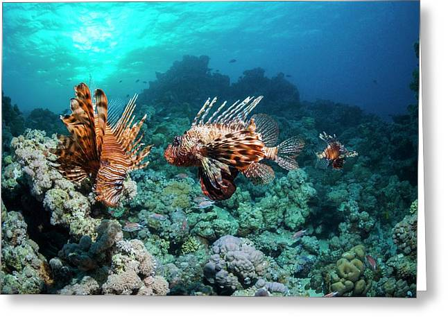 Common Lionfish Greeting Card