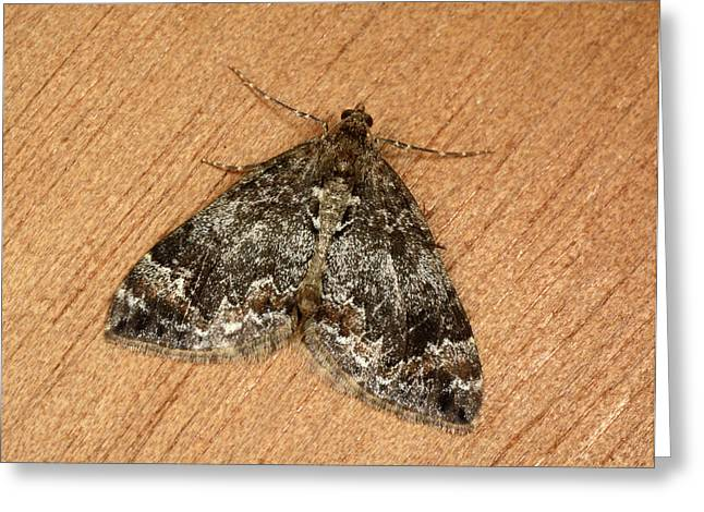 Common Marbled Carpet Moth Greeting Card by Nigel Downer