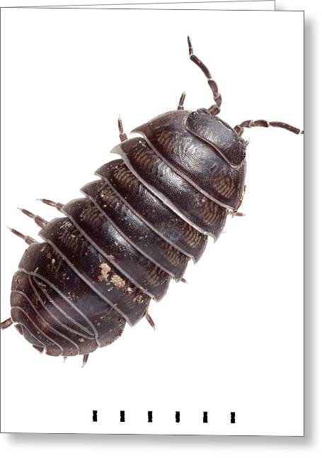 Common Pill Woodlouse Greeting Card by Natural History Museum, London
